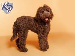 bichon frise breeders in pa labradoodle u2022 keystone puppies puppies for sale in pa