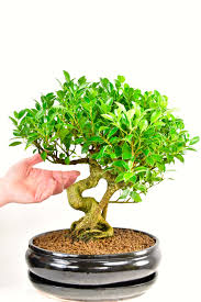 indoor bonsai ficus retusa fig bonsai tree bonsai care