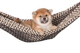 shiba inu puppy in a hammock stock photo image 50906978