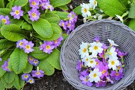 Edible Flowers Edible Flowers How To Crystallize Primroses
