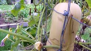how to grow a verticle upright squash plant and other vines in a