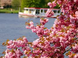 the japanese cherry blossom festival hamburg com