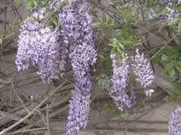 wisteria central stories of buttons and bread