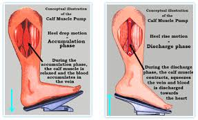 Human Body Muscles Images Which Part Of The Human Body Is Called The Second Heart Quora