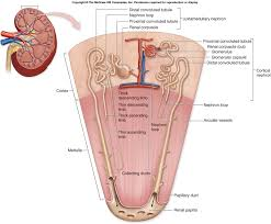 Pyramids Of The Medulla Associate Degree Nursing Physiology Review