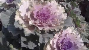 how to grow kale at home ornamental kale ornamental cabbage how to