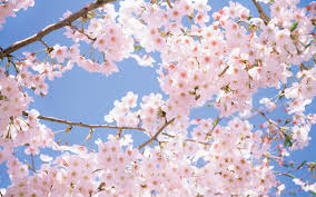 cherry flowers wallpapers cherry blossom tree wallpaper