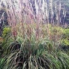 outsidepride plume ornamental grass 250 seeds garden