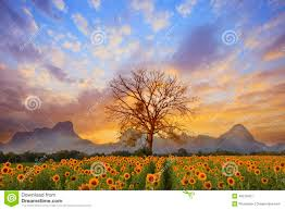 beautiful landscape of dry tree branch and sun flowers field