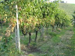 Conservation Vin Rouge Orvieto Vin U2014 Wikipédia