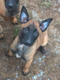 belgian malinois size at 6 months pin by eyal salomon on chien de berger belge malinois pinterest
