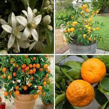 fruit edible 20 edible fruit mandarin bonsai tree seeds citrus bonsai mandarin