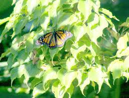 monarchs are back features newportri com