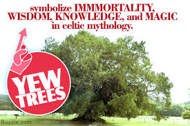 piquing facts about what the yew tree symbolizes actually