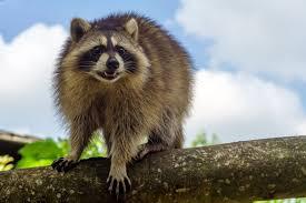 professional raccoon control service granite city archive stop
