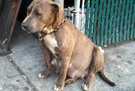 inside new york u0027s cringeworthy world of home breeding pit bulls