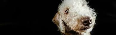 bedlington terrier genetic disease about the bedlington terrier bedlington terrier rescue