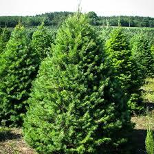 douglas fir tree rudys trees