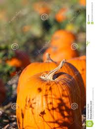 fall pumpkins background pictures pumpkin patch background stock photo image 62064980