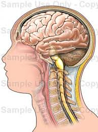 Brain Stem Anatomy Brain And Brain Stem Lateral View Medical Illustration Human
