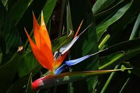 bird of paradise flower bird of paradise flower free pictures on pixabay