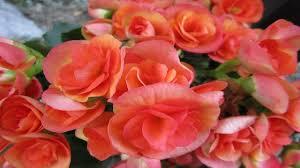 begonia flower most beautiful begonia flower you seen