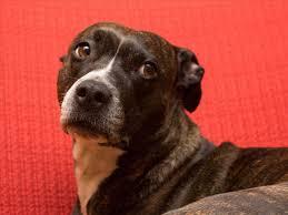 american pitbull terrier info american pitbull terrier black brindle dog and cat