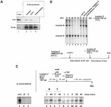 a specialized form of rna polymerase i essential for initiation