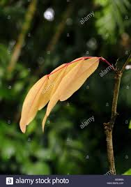 Light Orange Color by Light Orange Color Leaves From Sorrowless Tree Saraca Indica Or