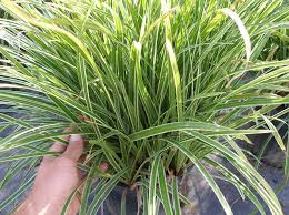 ornamental grasses johnston s evergreen nursery