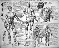file anatomical sketches after valverde muscles wellcome