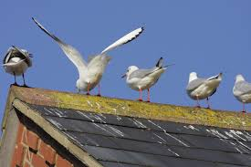 How To Get Rid Of Pigeons Off My Roof by Why Bird Is A Problem Bird B Gone Blog