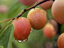 plum tree prunus americana www coolgarden me