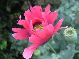 flowers poppy flower pink ornamental flowers bloom