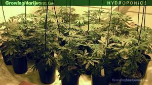 hydroponics hydroponic growing hydro weed grow how