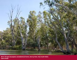 native plants south australia forests australia eucalypt forest department of agriculture and