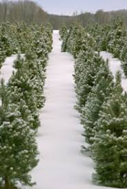 wholesale prices small trees big trees and munincipal christmas trees