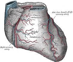 External Heart Anatomy V Angiology 4b The Heart Gray Henry 1918 Anatomy Of The