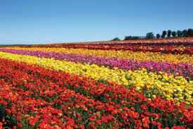 san diego flowers stop and smell the roses visit the san diego flower fields