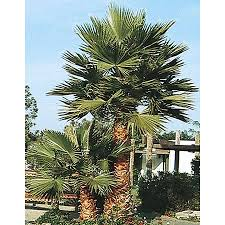 mexican fan palm growth rate shop mexican fan palm l3048 at lowes com