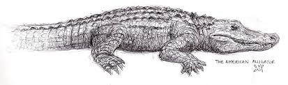 american alligator by ulysseia on deviantart