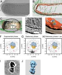 structure of hibernating ribosomes studied by cryoelectron