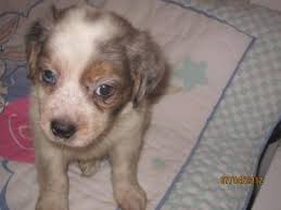 4 week old australian shepherd get 20 australian shepherd temperament ideas on pinterest without