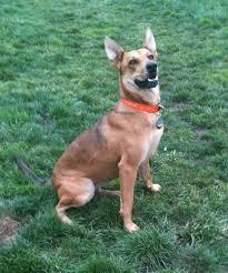australian shepherd jack russell terrier dog of the day uni the german shepherd italian greyhound shar pei