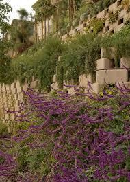 plants native to mexico santa barbara mexican bush sage monrovia santa barbara mexican