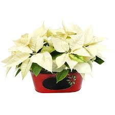 white poinsettia white poinsettias in tin pot plant delivery nyc