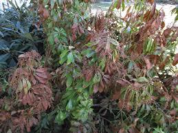winter injury susan u0027s in the garden