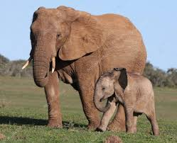 elephant stock photos royalty free elephant images depositphotos