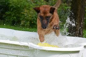 belgian shepherd dog malinois free images summer male spray vertebrate drop of water