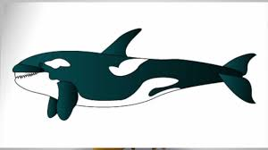 how to draw a killer whale step by step youtube